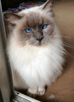 Hugo the Ragdoll